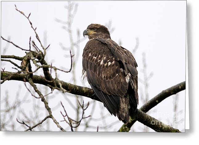 Young Eagle 600 Greeting Card by Sharon Talson