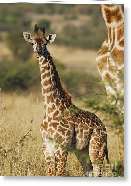 Young Giraffe In The Mara Greeting Card by Alan Clifford