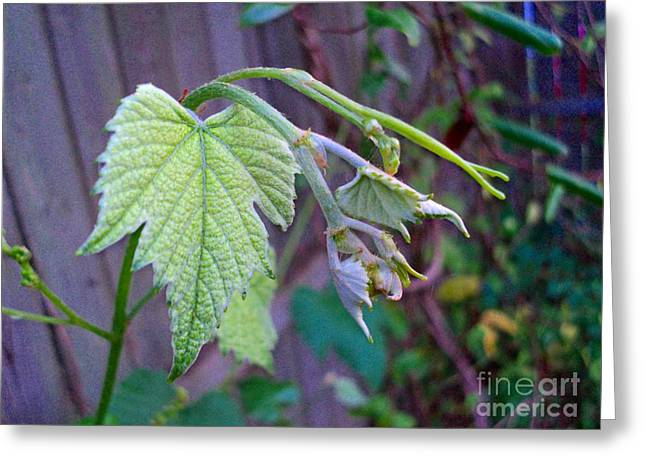 Young Grape Leaves Greeting Card