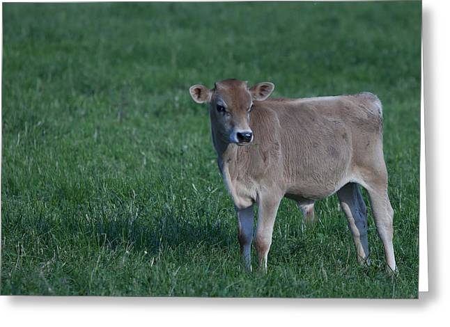 Greeting Card featuring the photograph Young Moo by John Crothers