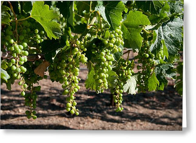 Young On The Vine Greeting Card by Kent Sorensen