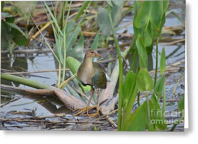 Young Purple Gallinule Greeting Card by Kathy Gibbons