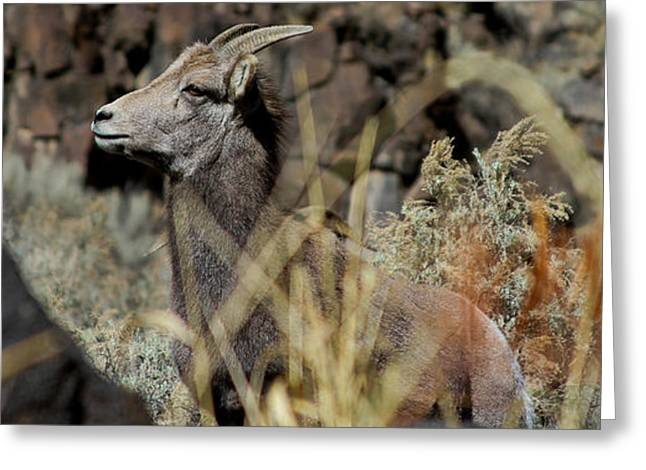 Young Ram Greeting Card by Atom Crawford