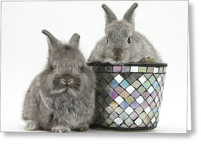 Young Silver Lionhead Rabbits Greeting Card by Mark Taylor