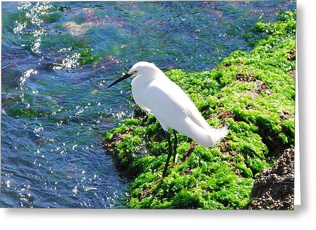 Young Snowy Egret Greeting Card