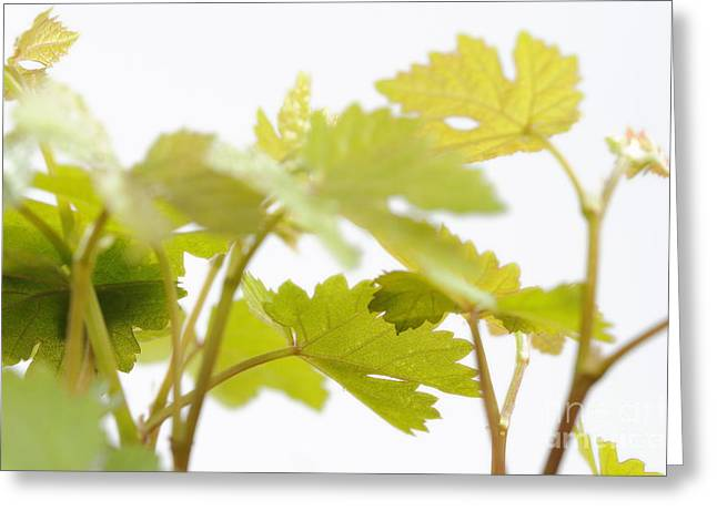 Young Vine Leaves Greeting Card by Sami Sarkis