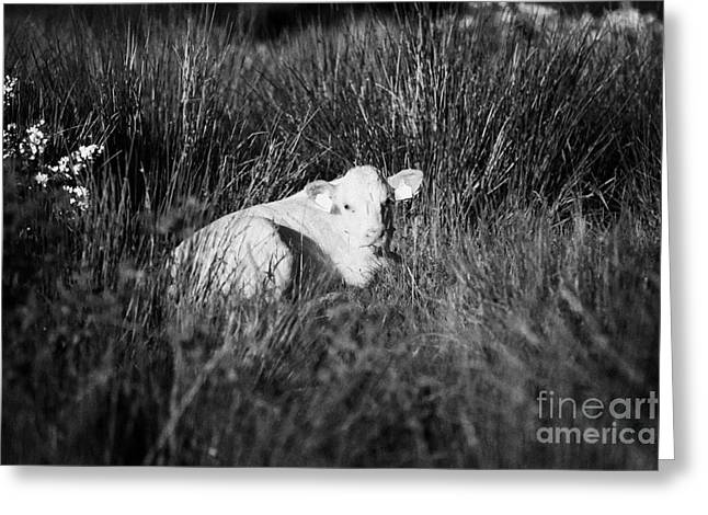 Young White Calf With Ear Tags Lying Down In Long Grass In Ireland Greeting Card by Joe Fox