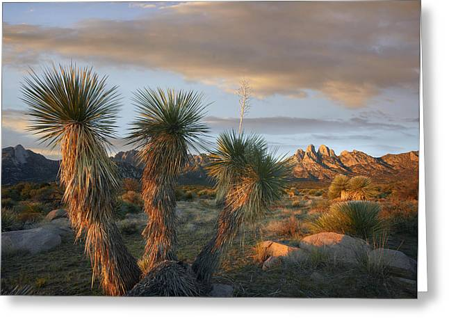 Yucca And Organ Mountains Near Las Greeting Card by Tim Fitzharris