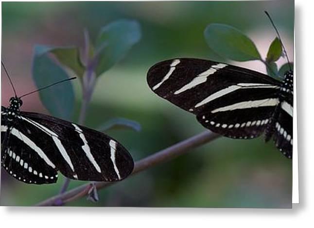 Zebra Butterflies Greeting Card by C Thomas Willard
