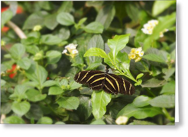Zebra Butterfly Greeting Card by Marianne Campolongo