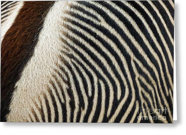 Zebra Caboose Greeting Card by Methune Hively