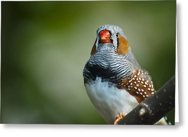 Zebra Finch Taeniopygia Guttata II Greeting Card