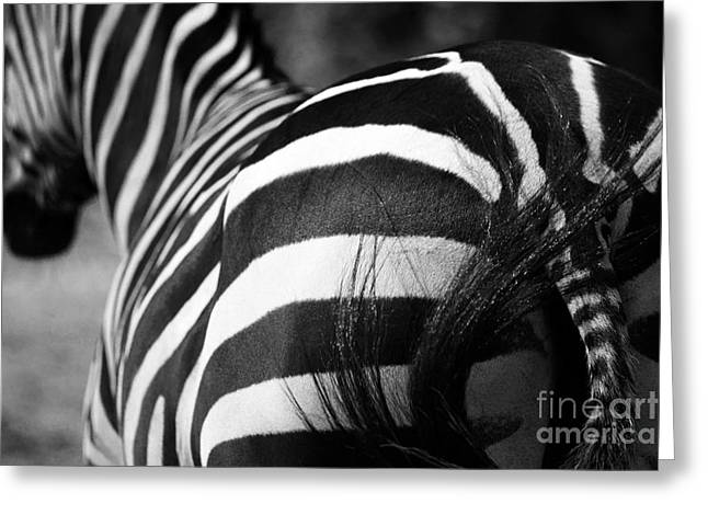 Zebra Greeting Card by Holger Ostwald