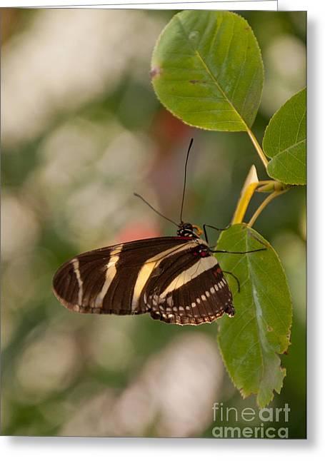 Zebra Longwing Butterfly Greeting Card by Dejan Jovanovic