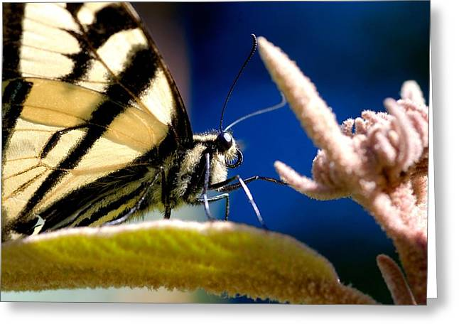 Greeting Card featuring the photograph Zebra Swallowtail by Scott Holmes
