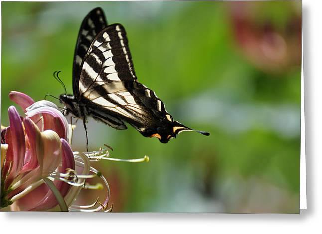 Greeting Card featuring the photograph Zebra Swallowtail Sipping Honeysuckle by Ronda Broatch