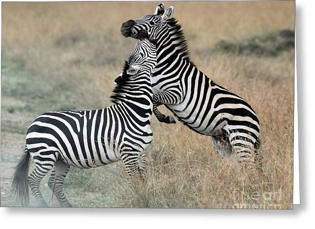 Zebras Fighting Greeting Card by Alan Clifford