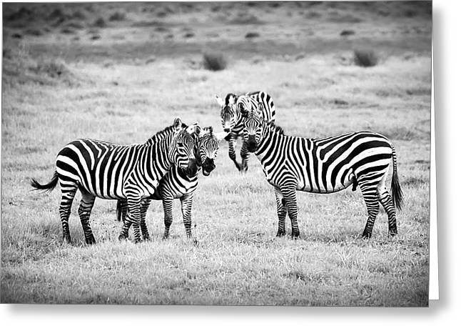 Zebras In Black And White Greeting Card by Sebastian Musial