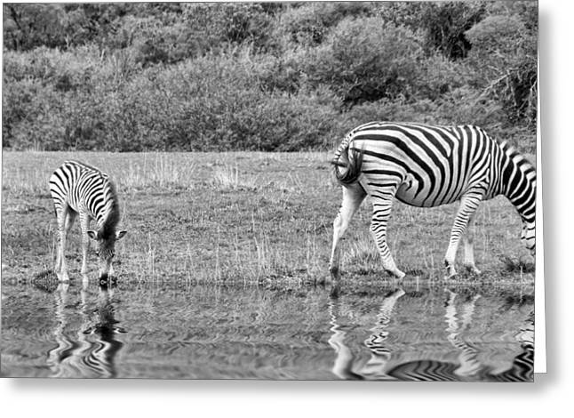 Zebras Greeting Card by Lynn Bolt