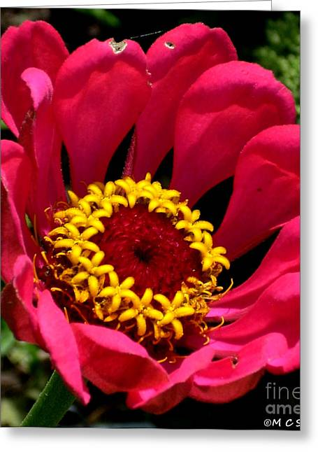 Zinna Photo Greeting Card by M C Sturman