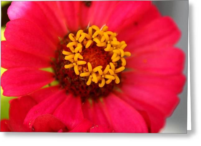 Greeting Card featuring the photograph Zinnia Blossom by Paula Tohline Calhoun