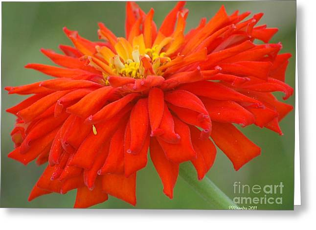 Zinnia Fireworks Greeting Card