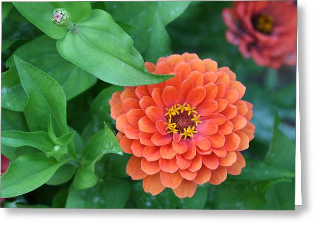Zinnia Flower Stages Of Life Greeting Card by Bonnie Boden