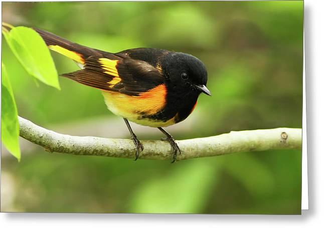 American Redstart Greeting Cards -  American Redstart Warbler Greeting Card by Mircea Costina Photography