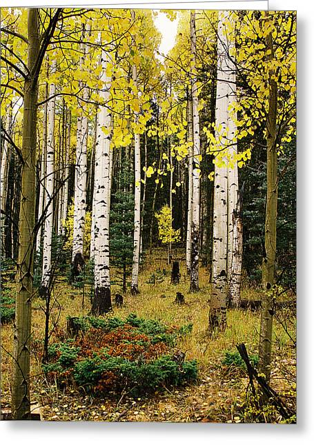 Aspen Grove In Upper Red River Valley Greeting Card