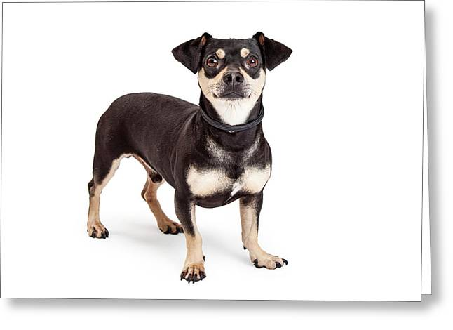 Chihuahua And Dachshund Mixed Breed Dog Standing  Greeting Card by Susan Schmitz