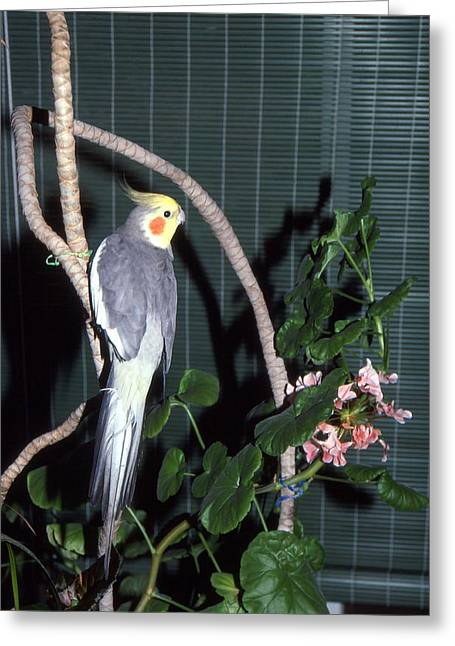 Cockatiel Named Pete Greeting Card