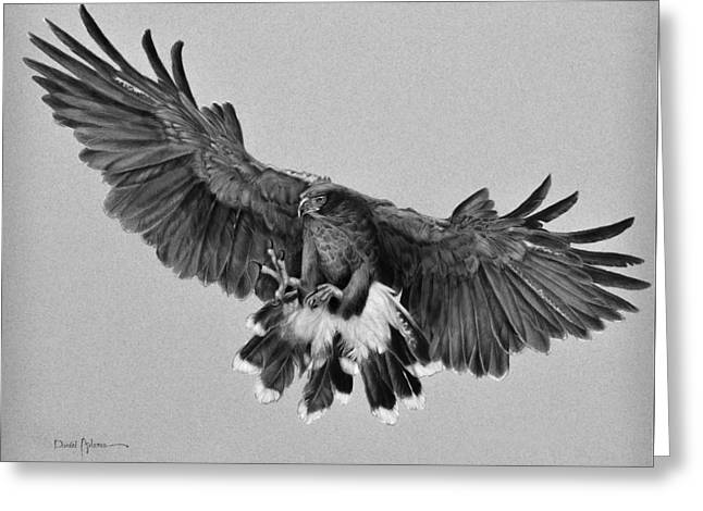 Da181 Harris's Hawk By Daniel Adams Greeting Card