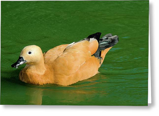 Duck In Green Water Greeting Card by John Buxton