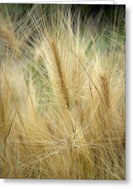 Foxtail Barley Greeting Card
