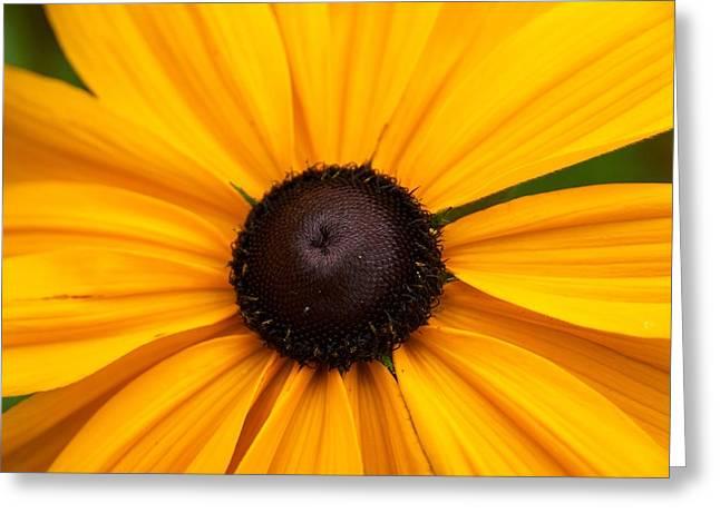 Goldilocks Gloriosa Daisy 2 Greeting Card by Jouko Lehto