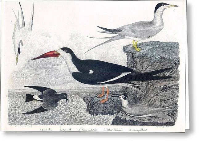 Great Tern  Lesser Tern Greeting Card by MotionAge Designs