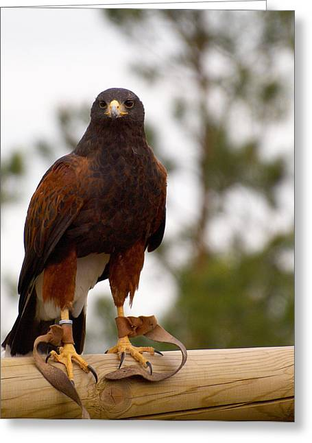Harris's Hawk Greeting Card