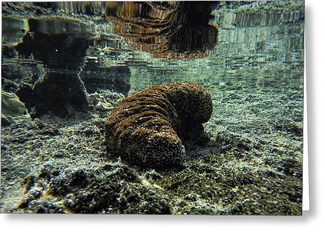 Hawaiian Sea Cucumber Greeting Card by Pamela Walton