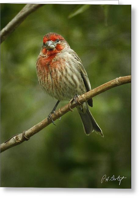 House Finch Greeting Card by Phill Doherty