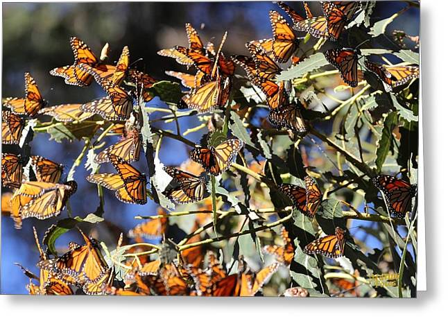 Monarch Cluster Greeting Card