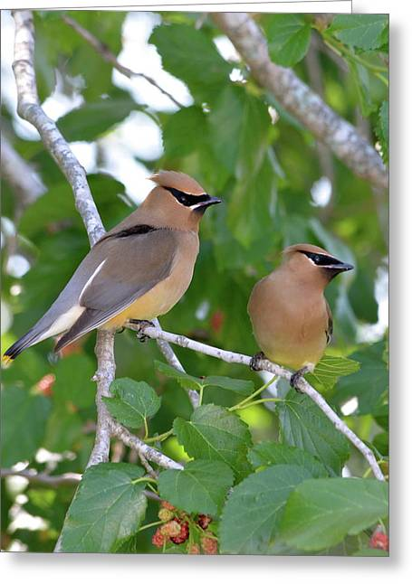 Pair Of Cedar Waxwings Greeting Card