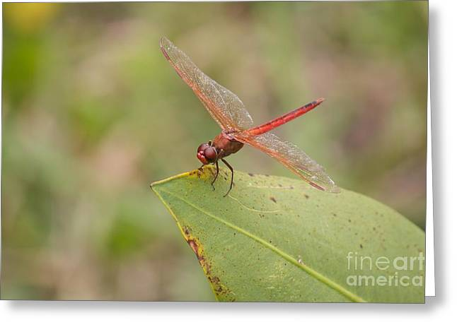 Red Flame Dragonfly Greeting Card by David Grant