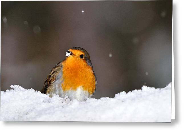 Greeting Card featuring the photograph  Robin In The Snow by Gavin Macrae