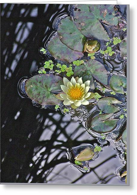 September White Water Lily Greeting Card by Janis Nussbaum Senungetuk