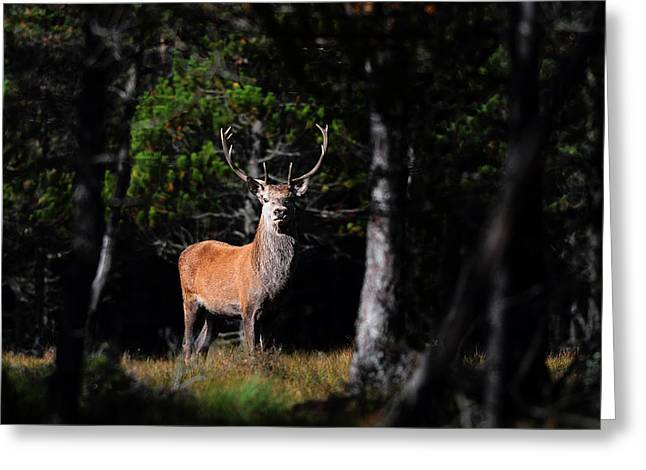 Greeting Card featuring the photograph  Stag In The Forest by Gavin Macrae