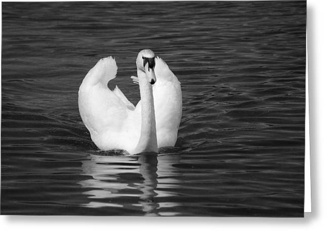 Swan In Black And White  Greeting Card by Michelle  BarlondSmith