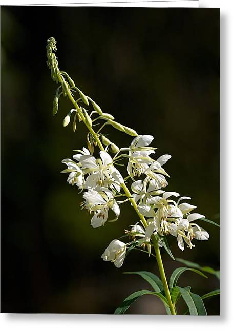Greeting Card featuring the photograph  White Fireweed by Jouko Lehto