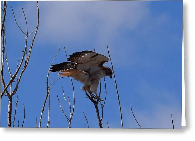 Greeting Card featuring the photograph Red Tail Hawk Female Tower Rd Denver by Margarethe Binkley