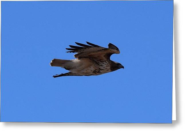 Greeting Card featuring the photograph Red Tail Hawk Male Tower Rd Denver by Margarethe Binkley