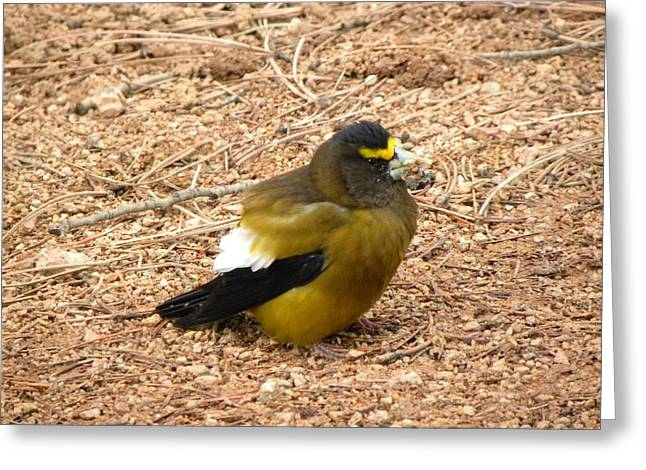 Evening Grossbeak Divide Co Greeting Card